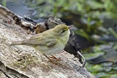 Lövsångare - Lövsångare. Sveriges talrikaste fågelart, förekommer i skog över hela landet.