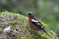 Bofink, hanne, Bofink. Sveriges näst talrikaste fågelart. Ses ofta födosökande på marken. Några individer stannar över vintern i södra Sverige.