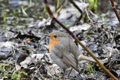 Rödhake - Rödhake. Sveriges tredje talrikaste fågelart. Ett fåtal individer stannar över vintern i södra Sverige.