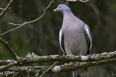 Ringduva -Ringduva. Fläckarna på halsen har uppfattats som en ring, vilket givit fågeln dess namn.