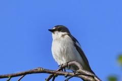 Svartvit flugsnappare - Svartvit flugsnappare. Häckar i trädhål och holkar.