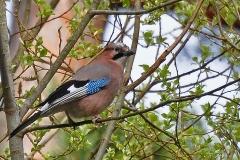 Nötskrika, Vallaskogen - Nötskrika. En oftast tystlåten kråkfågel, som hamstrar nötter och ekollon inför vintern.